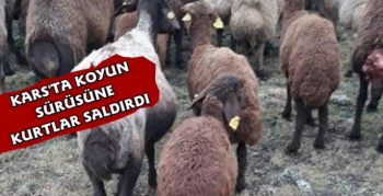 Kars'ta Koyun Sürüsüne Kurt Saldırdı