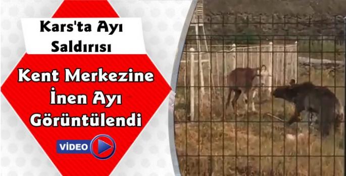 Kars'ta Şehir Merkezine İnen Ayı Keçiye Saldırdı