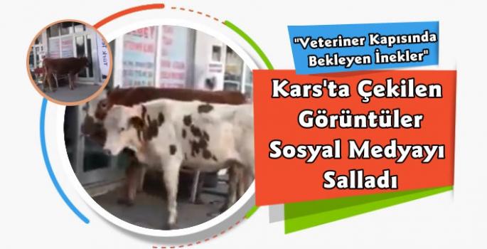 Kars'ta Veterinere Gelen İneklerin Videosu